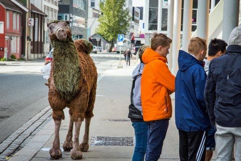 Nå skuer kamelen utover vandrende og kjørende i Grønnegata.