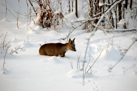 FÅR FORE: Skrantesyken hindrer foring av hjortevilt, men det gis dispensasjon. Foto: Jon Eivind Vollen