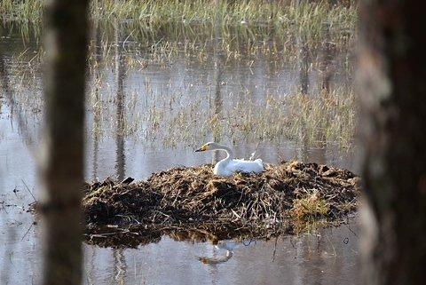 TAPT: Dette reiret forsvant i flommen og svanene måtte flykte fra vannet på Skrankefoss.