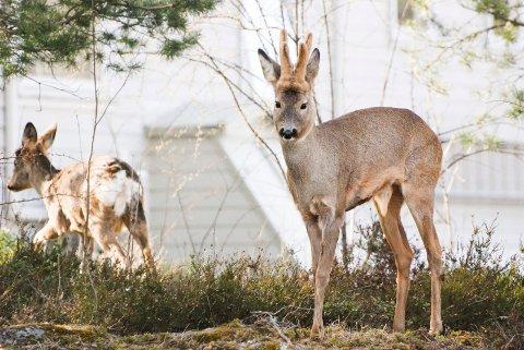 Rådyrene lever farlig på Borgheim for tiden. Dyrevernorganisasjonen NOAH har liten sans for at det gis tillatelse til skadefelling.