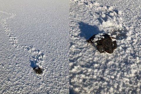 Krøpet langt: Padda hadde krøpet flere hundre meter på rimet på Ertevannet. Foto: Morten Bull.
