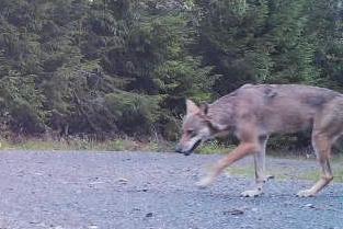 I JULI: På dette bildet er ulvetispa ikke til å ta feil av. Bildet er tatt 20. juli.