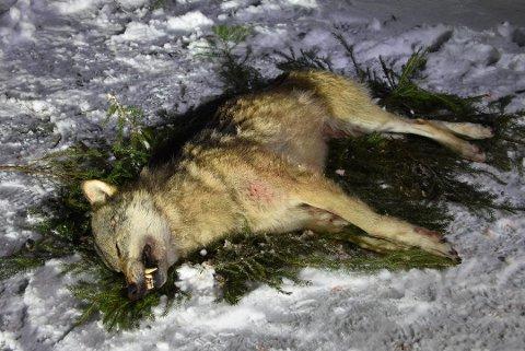 Området for lisensjakt i Aurskog-reviret, der denne ulven ble felt, er utvidet. Ulven på bildet er felt tidligere. Foto: Trym Helbostad