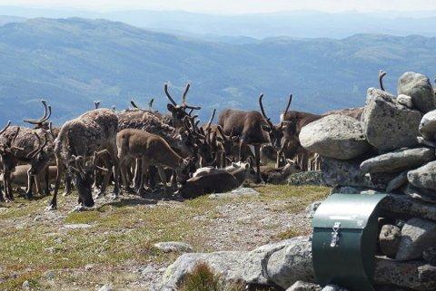 SMITTE: Myndighetene gjør det de kan for å få stoppet skrantesyke hos hjortevilt.
