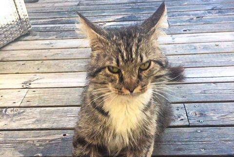 «GILBERT»: Hannkatten hadde vandret rundt i området rundt Bugården i nesten et år.