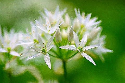 RAMSLØK: Den kalles «nordens hvitløk» og har vært brukt til matlaging i århundrer.