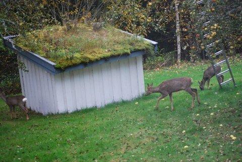 Rådyrene kommer ofte inn på jorder, beiter og i hager, som på dette bildet.