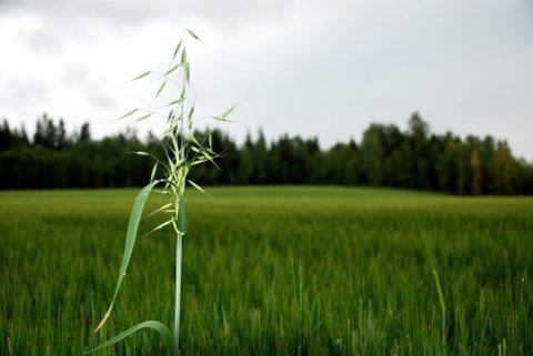 Denne planten er en svært uvelkommen, men hyppig gjest i åkeren. ARKIV