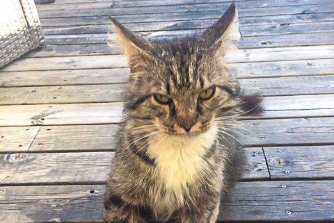 «GILBERT»: Hannkatten hadde vandret rundt i området rundt Bugården i nesten et år. Foto: Privat