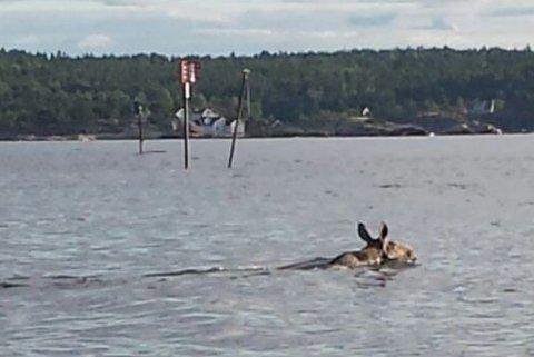 SVØMMETUR: Om den svømmende elgen forholdt seg til sjømerkene på sin svømmetur i skærgården, vites ikke. Men den hold forholdsvis stø kurs over fjorden fra Vestre Rauane mot Skåtøy.