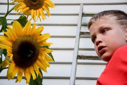 Kristian Lier Flathus må bruke stige for å nå opp til solsikkene og for å studere humlene.