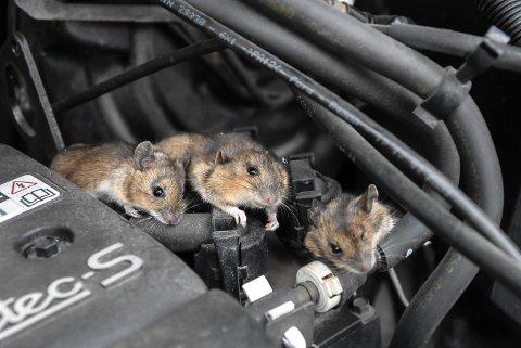 SKADE: Disse små skapningene kan gjøre stor skade i bilen. En jevnlig titt i motorrommet kan forebygge skade.
