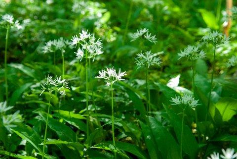 POPULÆRT: Ramsløk er en populær plante å plukke med seg hjem for å bruke til matlaging. Men det er forbudt å fjerne det fra naturreservater.
