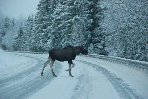 Påkøyrsel: Ulykker der elg og personbil er involverte kan ende tragisk for begge partar. No er det høgsesong for påkøyrslar.