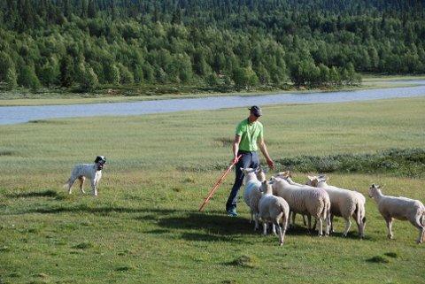 På kurs: I Øystre Slidre kan hundeeigarar få prøvd ut om hunden deira går etter sau, og i så fall bli lært opp til at sauen slett ikkje er eit triveleg dyr å koma nær.