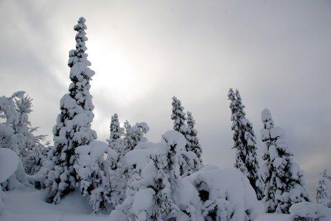 Viktig ressurs: Skogen blir en viktig ressurs si framtiden.  FOTO: Tor Harald Skogheim