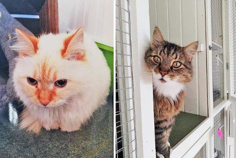 Disse to kattene er fremdeles på rømmen. Naboer bes holde et øye med nærområdene sine.