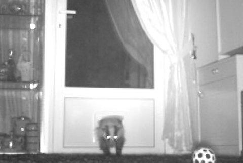 KOM SEG INN: Grevlingen har kommet seg inn i huset gjennom katteluka til Wenche Bruu. Først ble hun sjokkert av synet. Nå er grevlingen blitt husvarm.