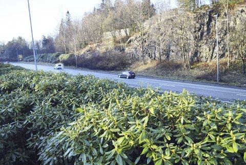 Det er disse tettvoksende rhododendronene som skaper problemer. Og nå haster det å stagge plantesykdommen som sprer seg her på østsiden av motorveien ikke langt unna «Kongens hage» på Gamlehaugen. Foto: TOM R. HJERTHOLM