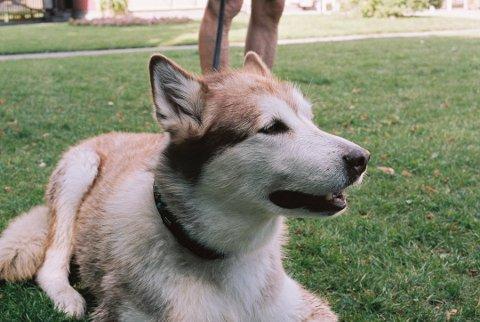 LOKAL HUND DØDE: En hund som var bosatt på Gullaug i Lier døde i helgen. Lier dyreklinikk anslår at årsaken til dødsfallet mest sannsynlig er den ukjente sykdommen som har spredd seg i Norge den siste tida  (Illustrasjonsbilde).