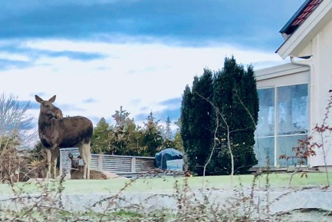 Nye naboer: Firbente innbyggere er nå en del av nabolaget i Saltnes de siste ukene. Kua og kalven er nesten som tamme å regne..