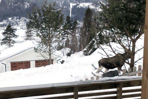 Elg er nærgående i flere boligområder. Nå er elg i Gunstadskogen i Ringebu blitt til et stort problem for de som bor der. Trolig vil elgene bli avlivet. Dette bildet er av nærgående elg på Fåvang.