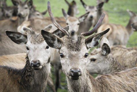 Senk farten: Årlig blir omkring 6000 hjortedyr skadet eller drept på veier og jernbaner. Foto: NTB Scanpix