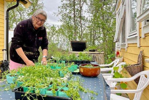FLERE HUNDRE: – I fjor drev jeg fram nesten 1.500 planter, men i år har jeg halvert, sier Wivi Arnesen (63) i Nedre Holtet.