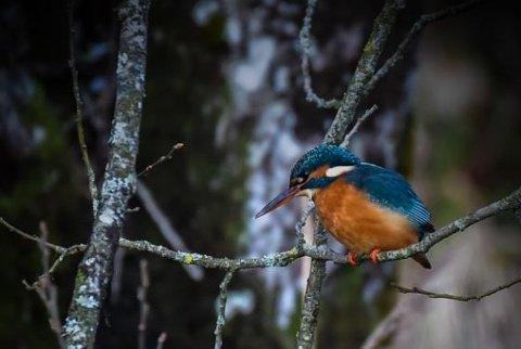 SPEIDER: En årvåken isfugl speider etter fisk et sted på Jæren tirsdag.