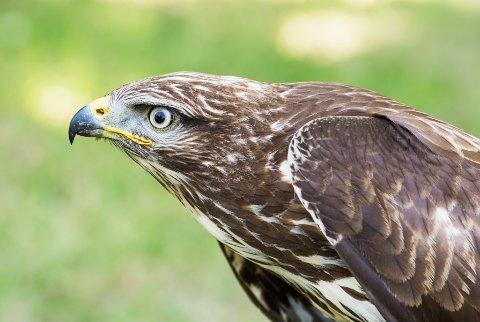 Kongeørn (Aquila chrysaetos)er en av de mest kjente rovfuglene på den nordlige halvkule.