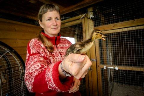 I GODE HENDER: En ensom andunge, som ble funnet på en p-plass ved Høyda denne uken, har fått husly hos Kathrine Bakke  i Årefjorden.