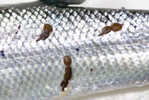 INGEN TVIL: Vi vet at mye lakselus på sjøaure og laksesmolt gir økt dødelighet i havet. Forskernes årlige målinger i havet viser likevel at det ikke skjer over alt og ikke like mye hvert år. I år har påvirkningen utenfor kysten vår vært moderat til liten dødelighet på utvandrende laksesmolt.