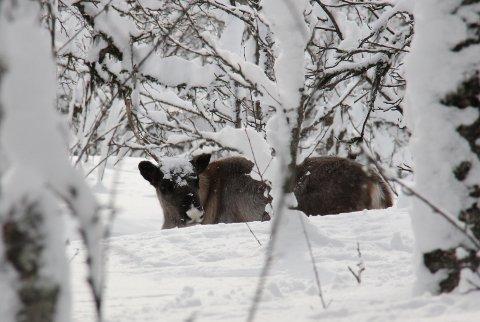KALV: Denne reinsdyrkalven befinner seg nå på Tromsøya sammen med sin mor, simla. Foto: Jan Ole Olsen