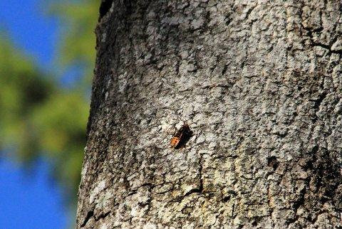 I et gammelt hult ospetre ved badestrendene i Ula har «monstervepsen» etablert seg i løpet av sommeren