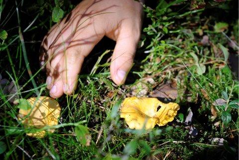 KANTARELLER: Skogens gull er det mange som kaller kantarellen. Lykken er fullkommen når man går i skogen og det åpenbarer seg et helt felt med den gule soppen.