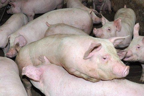Ulovlig: Den lokale bonden ble blant annet dømt for ulovlig kastrering av 23 griser. Illustrasjonsfoto.