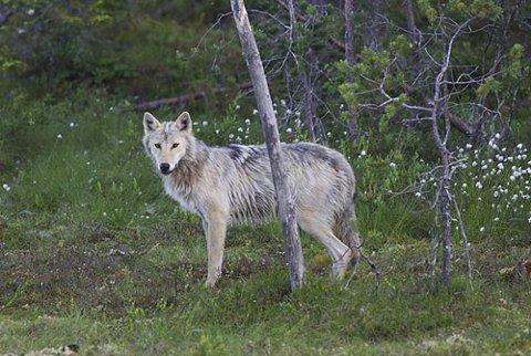 – Klima- og miljøminister Ola Elvestuen må si nei til all ulvejakt i ulvesonen. Det finnes ikke biologisk eller juridisk grunnlag for å skyte tre stabile og forutsigbare ulvefamilier innenfor ulvesonen, sier Arnodd Håpnes, fagleder i Naturvernforbundet