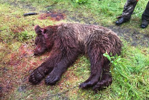 Dette er bjørnen som ble felt mandag, og som var involvert i torsdagens hendelse da en hund ble skutt.