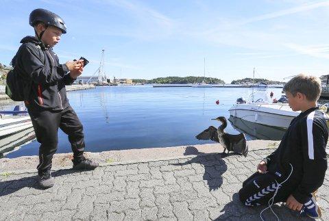 Skarv(fie): Halvor Skåli (11) fisket fram mobilen for å forevige den sjeldne gjesten. Kompisen Terkel Hope Aamo (10) syntes det var litt rart at skarven ikke var redd dem.foto: stig sandmo
