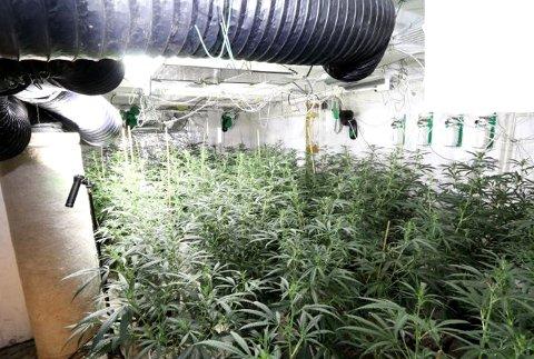 BESLAG: Politiet fant denne plantasjen i en enebolig i Oslo i fjor høst. Plantene utgjorde nærmere 19 kilo ferdigprodusert cannabis.