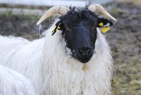 SVARTFJES: Så langt er det 18 sauer på garden på Kjetland. Dei er av rasen «svartfjes» som er utesau. Liknar på Timmy, synest gutane.