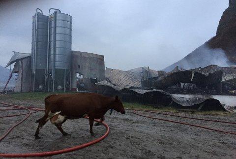 Et fjøs brant ned på Engeløya i Steigen, natt til torsdag. 70-80 kyr skal ha omkommet.
