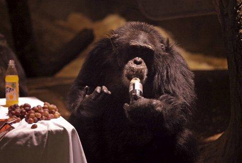 Sjimpansen Julius ble alvorlig syk etter å ha drukket av en plastflaske som ble kastet inn til ham.