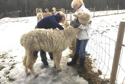 Veterinær Caroline Gulsvik undersøker den ene alpakkaen, mens eier Ellen Røhr holder den godt.