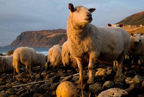 UTBETALT: Færre sauer har blitt drepne av rovvilt i år enn i fjor. Dette bildet er frå Kvalheimsstranda i Vågsøy.
