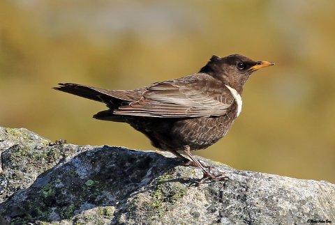 En av fuglene som kan ende opp med å gi navn til en gate i Kodlidalen, er ringtrosten. Denne er fotografert på Madland ved en tidligere anledning.