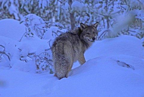 ULVEREGISTRERING: Denne ulven tilhører Kynna-flokken, som holder til i Elverum, Våler