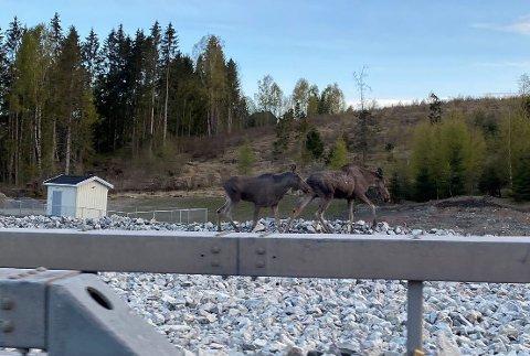 To elger på kveldstur virket en tanke forvirret da de forsøkte å krysse E6.