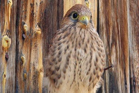 John Helge Sanden på Lesjaverk synes det er stas å være vertskap for en hel tårnfalk-familie i den gamle fuglekassa høyt oppe på låveveggen.