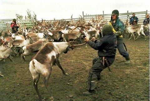 51.000 REIN: I kalenderåret 2015 slaktet Finnmark Rein AS 51.000 rein. ILLUSTRASJONSFOTO.